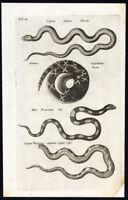 Antique Print-RATTLESNAKE-SERPENS PEREGRINUS-Jonston-Merian-1657