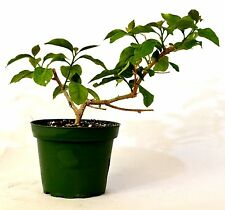 """Royal Purple Bougainvillea Plant -Indoors/Out or Bonsai - 4"""" Pot Gift Hardy"""
