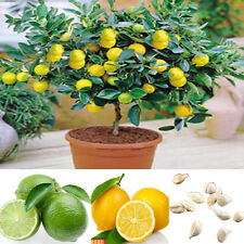 10Pcs Rare Lemon Tree Indoor Outdoor Available Fruit Plants Seeds Home Garden