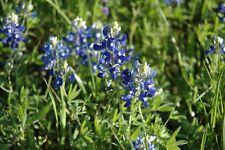 Bluebonnet - Bonito Flores - Semillas Frescas