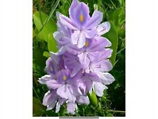 Hardy Water Hyacinth 12 Perfect Plants For Your Water Gardens Or Pond