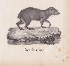 Aguti Agutis Dasyprocta eporina LITHOGRAPHIE von 1831 Brüggemann Schinz