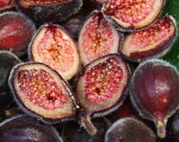 Sandpaper Fig Seed Southernmost Native Fig Evergreen Bush Tucker Medicinal