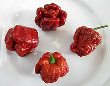 Trinidad SCORPION MORUGA Caramel 1000 semi seeds BULK chiliseeds
