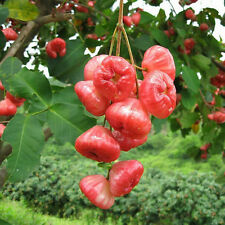10 Seeds Wax Apple Fruit Seeds-Jambu Air-Beauty And Delicious Fruits Seed