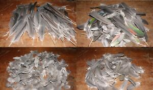Parrot feathers grey, bulk lots of about 50, quill fly tying art craft jewellery