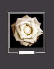 Harold Feinstein Ivory POSTER Rose Stampa d'Arte Immagine 50x40cm
