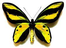 Ornithoptera tithonus misresiana male. Indonesia. VERY RARE!!!!