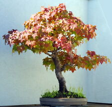 Sweet Gum Tree 7 Seeds - Liquidambar - Bonsai