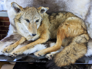 BR15 Coyote Mount #2 Taxidermy  Prairie Wolf Beautiful Full Body Display