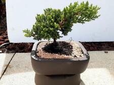 Juniper Bonsai Tree Perfect For Beginners