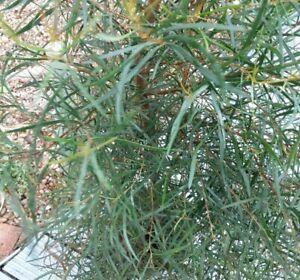 Eucalyptus pulchella Tasmanian White Peppermint Hardy Evergreen Tree in 7cm pot
