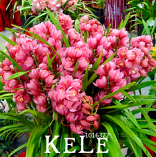 Red Cymbidium Orchid Bonsai Plants Garden Flowers 100 Pcs Seeds Free Shipping D