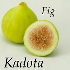 ~KADOTA~ FIG TREE White Fruits Honey Dattero COLD HARDY Live Potted small Plant