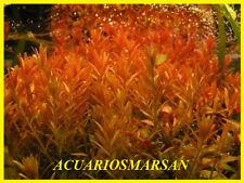 PLANTA DE ACUARIO .Rotala rotundifolia red .CULTIVO SUMERGIDO.