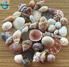 1/2 Lb.+ Of Small Medium To Medium Sea Shells - Craft Or Decor
