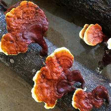 100PK Reishi Mushroom Plug Spawn, Grow Gourmet Mushrooms on Logs or Stumps