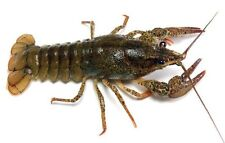 NEW!! LIVE CRAYFISH FREE SHIPPING BUY 2 GET ONE FREE !!!