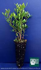 PISTACIA LENTISCUS alv pianta plant Lentisco Mastic tree