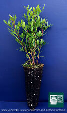 PISTACIA LENTISCUS OFERTA 40 PLANTAS alvéolo planta plant Pasta selladora