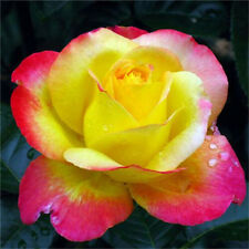 Romantic Love And Peace Rose Seeds Pink Yellow Rosa Genus Flower 20PCs♫