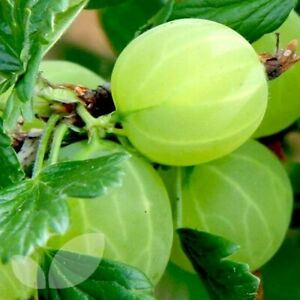 Gooseberry Bush Hinnomaki Green Easy To Grow. Delicious Fruit Plant in Pic's 2&3