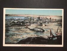 Antique POSTCARD c1910-30 Black Fish Driven Ashore CAPE COD BAY, MA (20510)