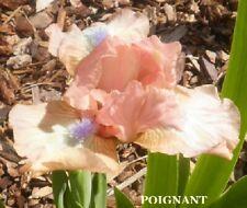 "(1) ""Poignant"" Lovely Little Beauty Dwarf Bearded Iris Rhizome"