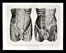 1874 Bilder Anatomical Print - Groin Abdomen Muscles Genitalia  - Human Anatomy