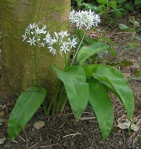 150+ Samen Allium ursinum - Bärlauch