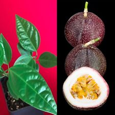Purple Passion Large Fruit Passiflora Edulis Potted Starter PLANT Tropical Vine