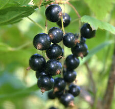 Black Currant (Cassis) Essential Oil, all natural, BIG 16 oz, NEW LOW PRICE