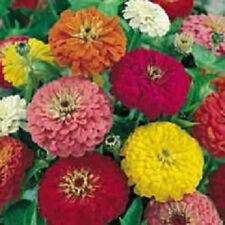 500 Zinnia Seeds California Giant Mix Flower Seeds