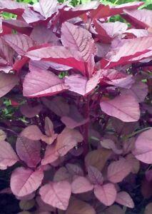 Salad, Edible, Bangladeshi Seeds,Beej, Red Amaranth, Lal Shak, লাল শাক 4.5g