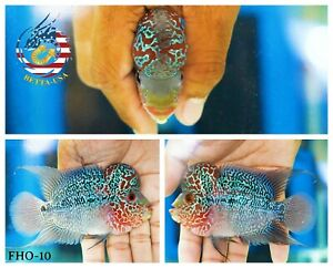 FHO-10 Live Flowerhorn Red Pearl Big Kok   UPS Next Day Air Shipping