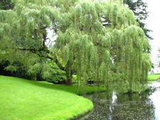 Weeping Willow Seedling Tree Fast Growing Shade Tree