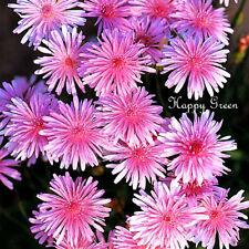 Pink Hawksbeard - 150 seeds - Dandelion - Crepis Rubra - Landscaping flower
