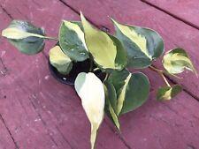 Fully Rooted Philodendron cream splash, silver stripe, Unique Trio Color