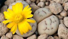 Lithops ruschiorum C 242 20 seeds