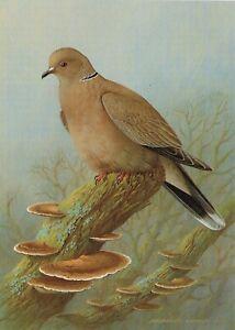 Collared Dove Bird Print Old Picture Vintage Raymond Watson 1986 SB#31
