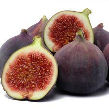 ☆Fig Tree☆BROWN TURKEY☆Finest 20- Seeds☆Best For Jam & Conserve☆UKSeller☆