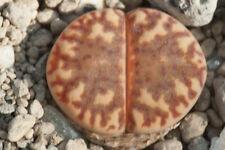 Lithops bromfieldii Welgevonden SA 20 seeds