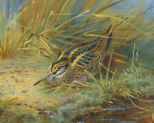 Archibald Thorburn  Jack Snipe  1933   Wall Art  Canvas