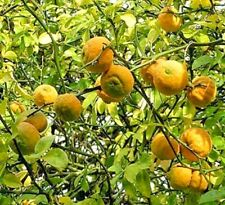 15 FLYING DRAGON HARDY ORANGE SEEDS  - poncirus trifoliata var. monstrosa
