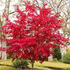 Acer palmatum Atropurpureum junger Roter Fächer Ahorn aus Samen gezogen