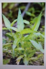 """10 Samen japanischer Wasserpfeffer,Polygonum hydropiper """"Fastigiatum""""#373"""