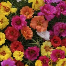 Portulaca - Double Flowered Mix (approx 200 seeds) - Bonus Inside