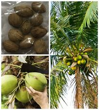 20 Pcs Coconut tree Seeds Giant Miracle Fruit Tree High Nutrition Juicy Fruits