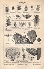 Halbflügler micrófono kopflaus chicharra carambola incendiaria piojos madera clave 1895