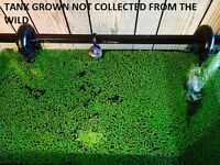 SNAIL FREE 1000+ duckweed indoor grown live organic aquarium  BUY2GET1 FREE